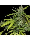 Sweet Tooth Auto Granel