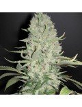 White Widow Granel