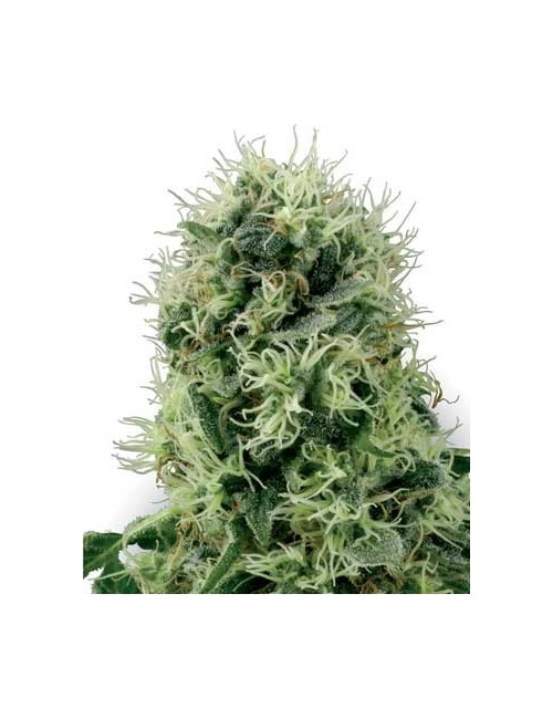 Pure Power Plant Feminized