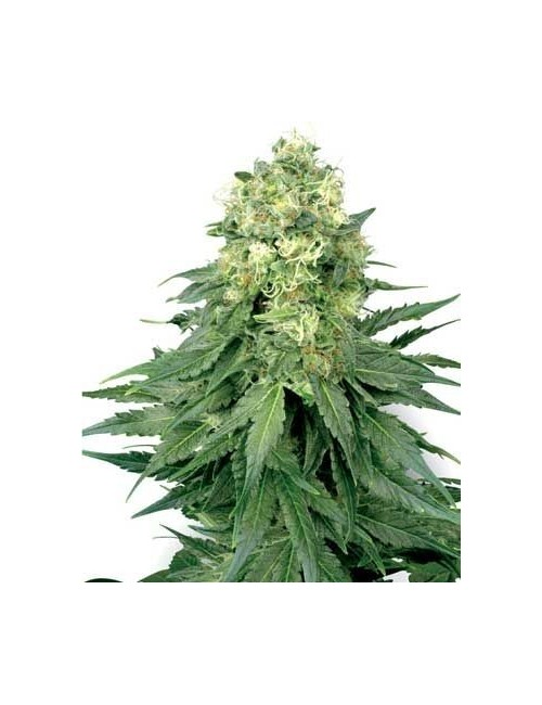 White Widow Granel (Premium)