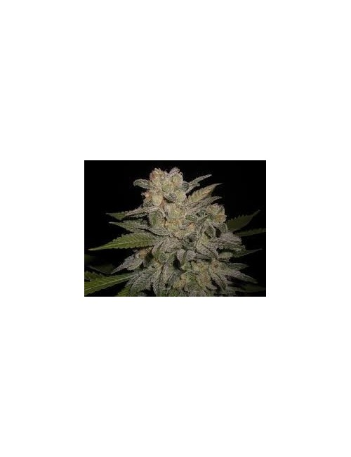 Northern Lights Auto Granel