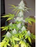 Sour Diesel Granel (Spanish Seeds)