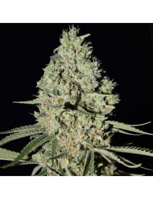 White Widow x Critical Fast Florewing Granel