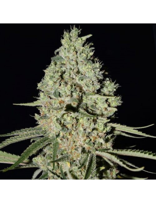 White Widow x Critical Fast Florewing Granel