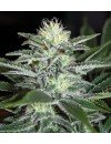 White Widow Auto Granel
